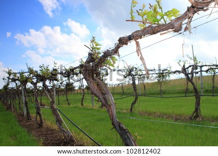 Rows of vine in spring season