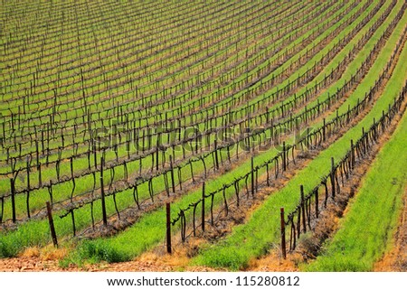 Rows of vines and green grass of a vineyard, Cape Town area, South Africa - stock photo