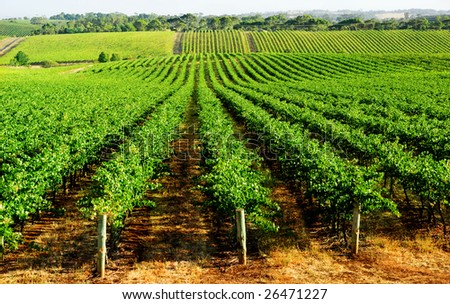 Rows of vines in South Australia