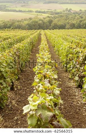 rows of vines in vineyard in Champagne region of france
