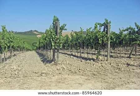 rows of vineyards and hills of Tuscany in Italy in summer