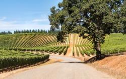 Rows of Wine Grape Vineyards, Road, Oak Tree, Sky