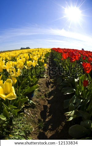 rows of yellow and red tulips taken with a wide angle lens in the furrow with a blue sky and the sun in the background