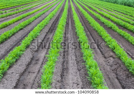Rows of young and fresh carrot plants in springtime.