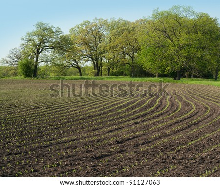 Rows of young corn plants curve around a farm field in Spring