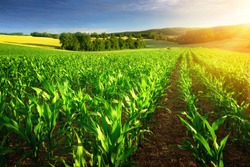 Rows of young corn plants on a fertile field with dark soil in beautiful warm sunshine, fresh vibrant colors