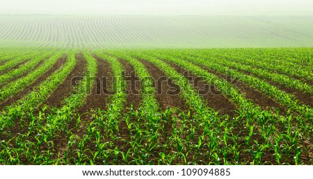 Rows of young corn plants on a moist field in a misty morning