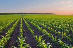 Rows of young corn shoots on a cornfield