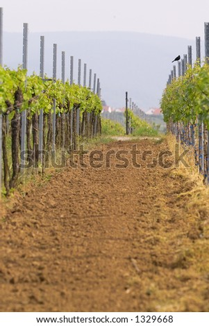 rows of young grapes in wineyards of southen Germany region Rheinland Pfalz