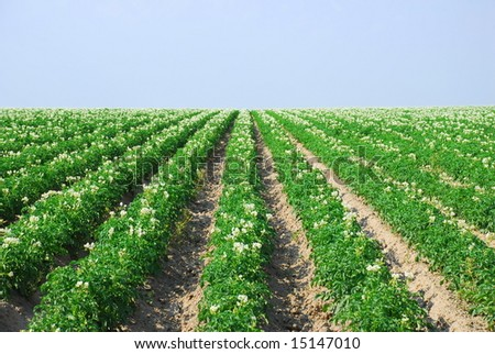 Rows of young potato plants in bloom.