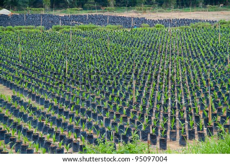 Rows of young trees at the nursery ground.