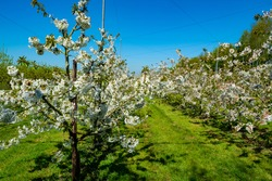 Rows with sour cherry kriek trees with white blossom in springtime in farm orchards, Betuwe, Netherlands