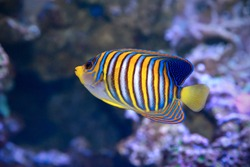 Royal angelfish Pygoplites diacanthus, also known as the regal angelfish.