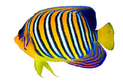Royal angelfish (Pygoplites diacanthus) isolated on white background.