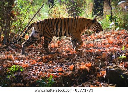 Royal Bengal tiger. Bandhavgarh National Park Reserve.