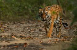 Royal Bengal Tiger from India