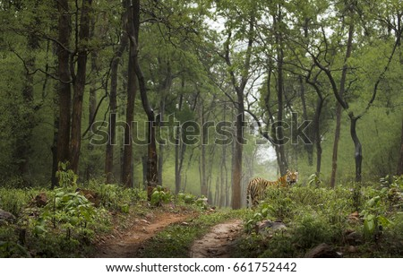 Shutterstock Royal Bengal tiger in green Monsoon forest Tadoba India