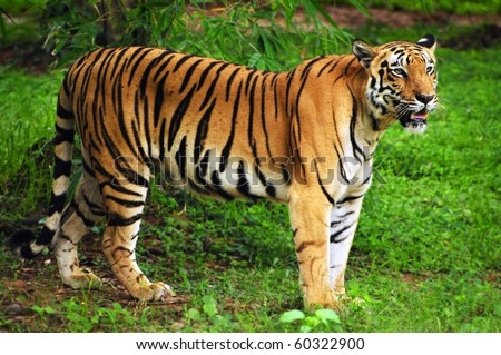 Royal bengal tiger in its natural habitat at Sundarban forest in Bengal India