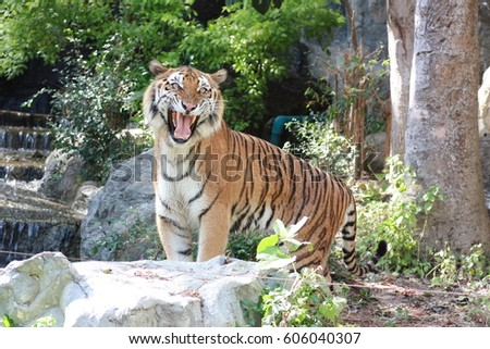 Royal bengal tiger is roaring. #606040307