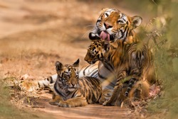 Royal Bengal Tiger with Cub