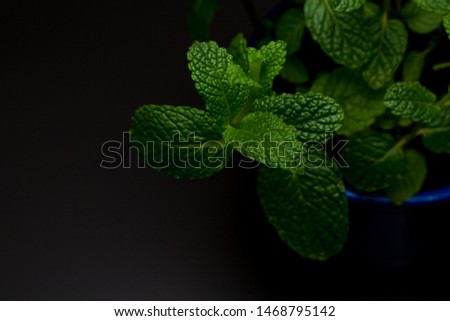 Royal blue vase with fresh mint seedling on the black colored table with the green leaves background #1468795142