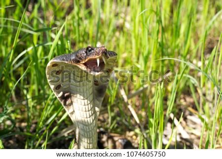 Stock Photo royal cobra in grass danger snake nature bared stance green brown black yellow white