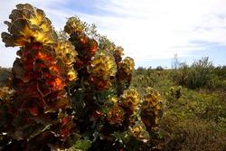 Royal Hakea shrub with yellow and orange foliage in bushland near Hopetoun, Western Australia