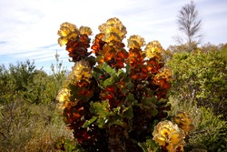 Royal Hakea shrub with yellow and orange foliage in bushland near Hopetoun, Western Australia