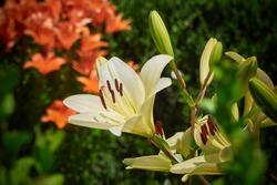 Royal lily flower ( Lilium regale )