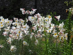 Royal lily flowering plants (also known as Lilium regale, Lilium fanfare, Trumpet lily or King's lily) growing along the side of a garden alley
