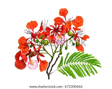 Royal Poinciana red flowers and green leaves, Flamboyant, Flame Tree, Delonix Regia, isolated on white background