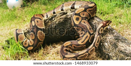 Royal python or ball python having a stretch in the garden gaining loads of pet snake enrichment in an environment similar to a ball python in the wild. Slithering through grass