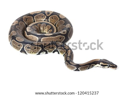 Royal Python, or Ball Python in studio against a white background.