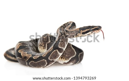 Royal Python, or Ball Python (Python regius) in side view. Isolated on white background