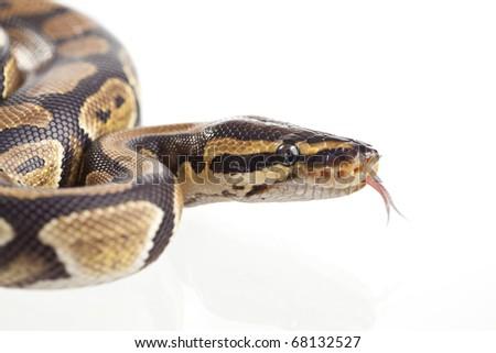 Royal Python, or Ball Python (Python regius), in studio against a white background.