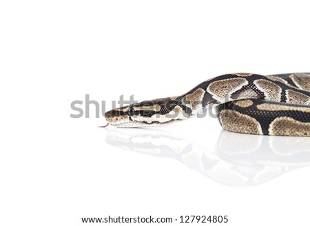 Royal Python snake in studio against white background