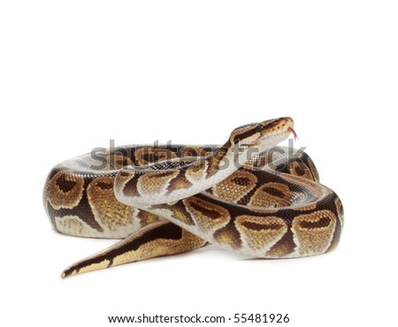 Royal python snake isolated on white background