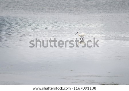 Royal spoonbill (Platalea regia). Otago Peninsula. Otago. South Island. New Zealand. #1167091108