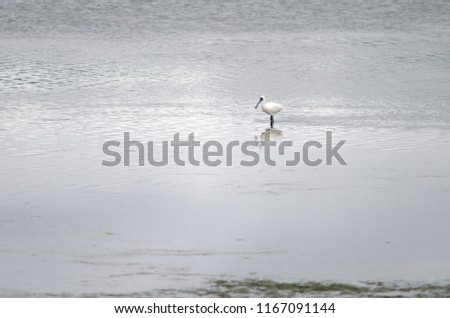 Royal spoonbill (Platalea regia). Otago Peninsula. Otago. South Island. New Zealand. #1167091144