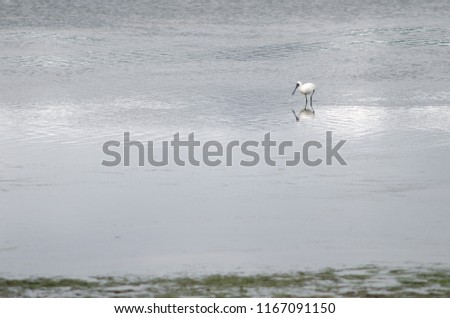 Royal spoonbill (Platalea regia). Otago Peninsula. Otago. South Island. New Zealand. #1167091150