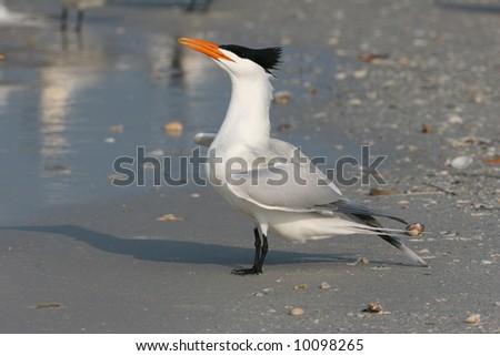 Royal Tern Displaying for Mate