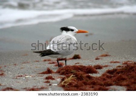 Royal Tern Portrait