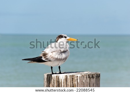 Royal Tern Portrait in Florida