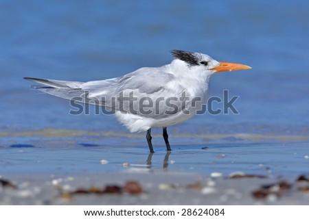 Royal tern resting at sea shore