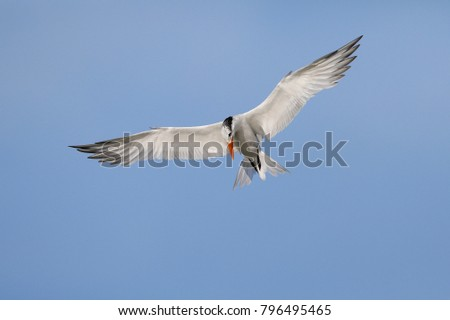 Royal Tern (Thalasseus maximus) hovering over the Gulf of Mexico - Fort Myers Beach, Florida