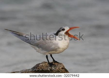 Royal Tern (Thalasseus maximus maximus), in winter plumage, calling.