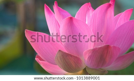 Royalty high quality free stock footage of a pink lotus flower. The background is the lotus leaf and pink lotus flower and lotus bud in a pond. Viet Nam. Peace scene in a countryside, Vietnam