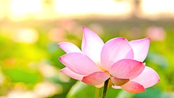 Royalty high quality free stock image of a pink lotus flower. The background is the lotus leaf and pink lotus flower and lotus bud in a pond
