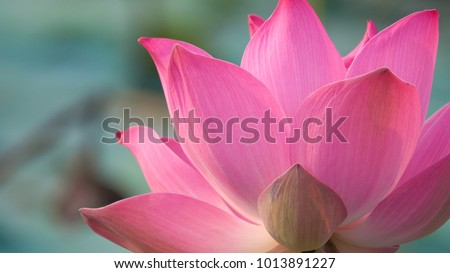 Photo of Royalty high quality free stock image of a pink lotus flower. The background is the lotus leaf and pink lotus flower and lotus bud in a pond. Viet Nam. Peace scene in a countryside, Vietnam
