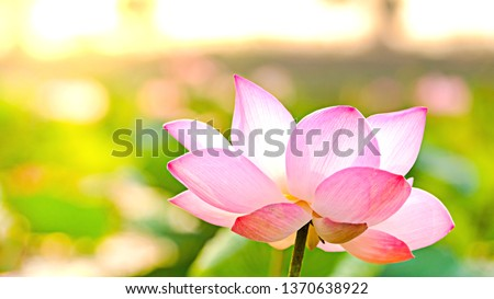 Photo of Royalty high quality free stock image of a pink lotus flower. The background is the lotus leaf and pink lotus flower and lotus bud in a pond